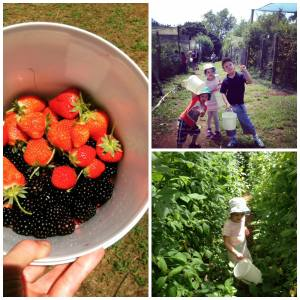 Berry picking at Sunny Creek